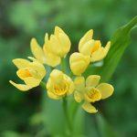 黄金色の花を付けることからその名を由来するキンラン。種子は約半年かけて熟し散布される
