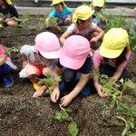 ジャガイモ収穫体験会の様子